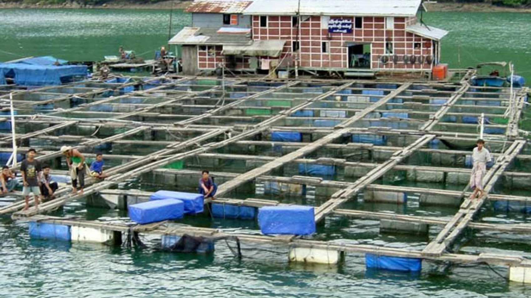 Fish-are-farmed-in-an-artificial-pond-in-Ayeyawady-Region-where-fish-and-shrimp-farming-businesses-are-likely-to-receive-funding-as-part-of-an-EU-aquaculture-project.-copy